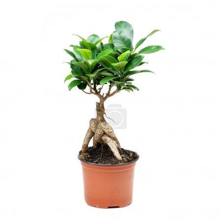 Photo for Ficus mikrokarpa. Bonsai tree on white background - Royalty Free Image