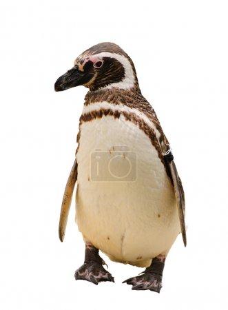 A Humboldt or Magellanic species of penguin, isola...