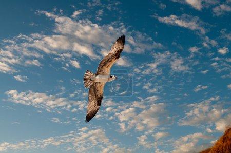 Photo pour Balbuzard en vol contre un ciel bleu - image libre de droit