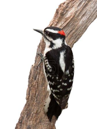 Photo pour Un pic suspect s'accroche à un morceau de bois flotté. Ses plumes d'aile noires et blanches, un trait proéminent de rouge à l'arrière de sa couronne et un bec en forme de ciseau rendent le pic duveteux facile à identifier. Fond blanc . - image libre de droit