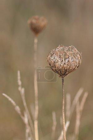 Photo pour Pour protéger ses graines, un ombrelle ligneux de la dentelle d'une reine anne forme un nid autour de ses embryons duveteux secs. La dentelle de la reine annes est entourée d'herbe du verger et d'une autre carotte sauvage dans la prairie ouverte . - image libre de droit