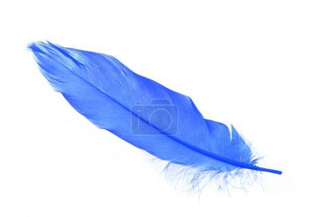 Photo pour Plumes bleues isolées sur fond blanc - image libre de droit