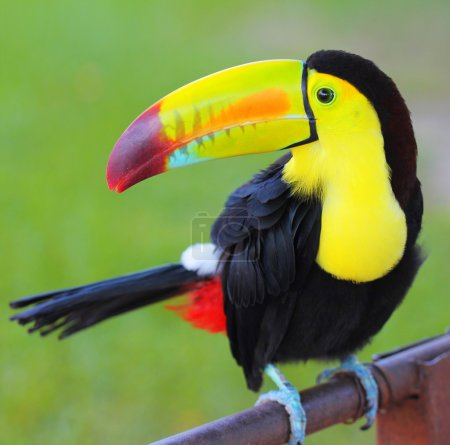 Colored Toucan. Keel Billed Toucan, from Central America.