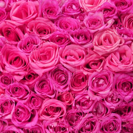 Photo for Hot Pink Roses Background - Royalty Free Image