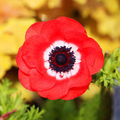 Red poppies flowers. Outside