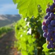 Grapes on a background of mountains and vineyards...