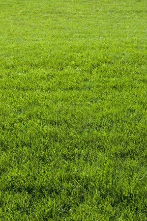 Photo pour Vert herbe texture de fond. - image libre de droit