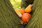Halloween pumpkins in a tree