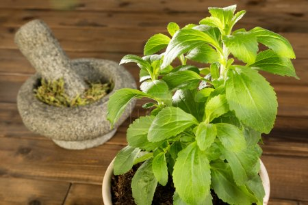 Potted stevia plant