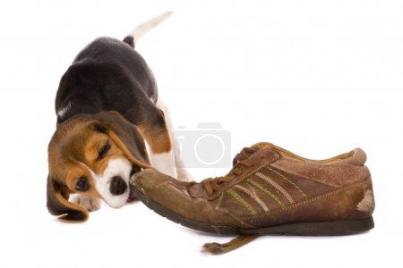 Puppy biting shoe
