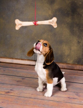 Photo for Seven weeks old cute little beagle puppy watching a huge bone - Royalty Free Image
