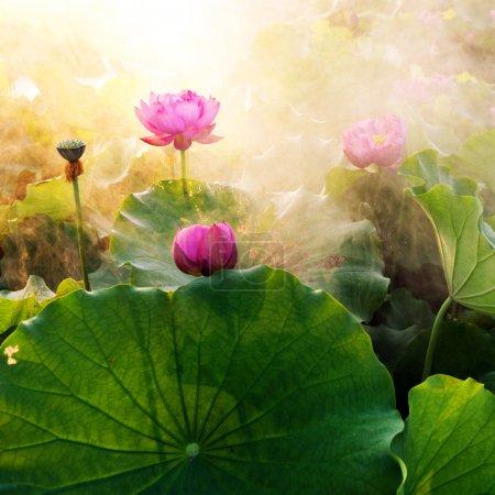 Photo pour Belle fleur de lotus en floraison au coucher du soleil - image libre de droit