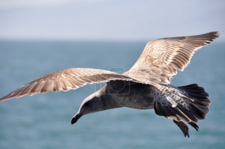 Sea Gull in Flight, Santa Monica (USA)