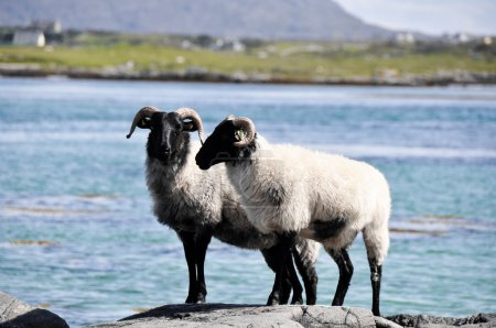 Flock of sheep, Mannin Bay, Ireland
