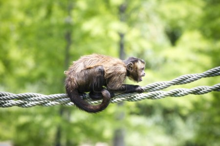 Screaming monkey on a string