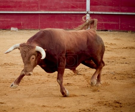 Brave and dangerous brown bull in the bullring
