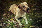 Young Labrador Retriever in a fall park