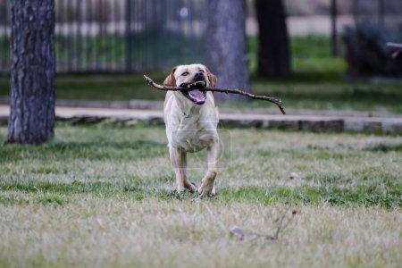 Brown labrador running