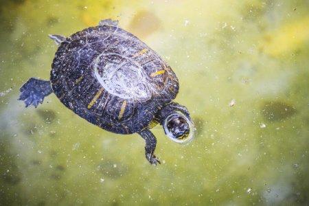 Tortoise resting