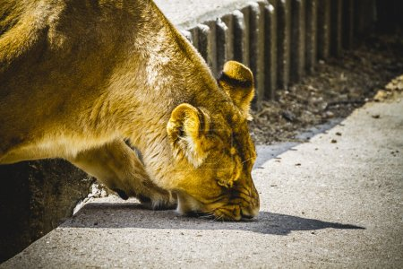 Lioness in a zoo park