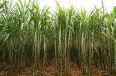 Třtinové plantáže