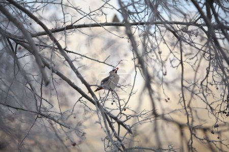 waxwing on winter branch