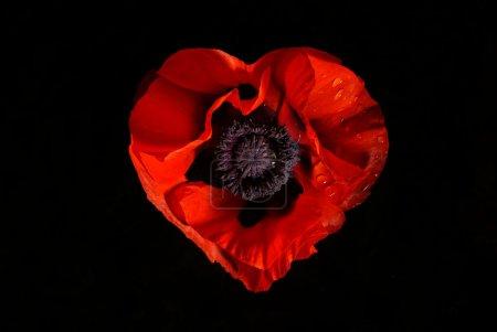 Photo pour Coeur de la fleur rouge sur la valentine noire - image libre de droit