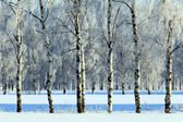 View of beautiful winter birch wood