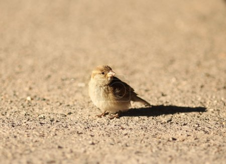 Sparrow sitting on the ground
