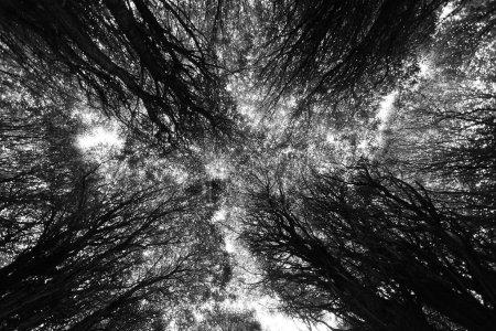 Photo pour Des arbres noirs. Vue de dessous - image libre de droit