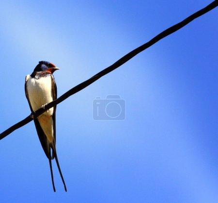 Photo pour Avaler sur un fil sur un fond bleu - image libre de droit