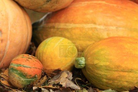 Photo pour Récolte automnale de citrouilles Halloween - image libre de droit