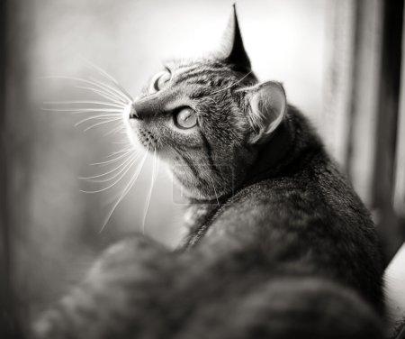 british cat on a window