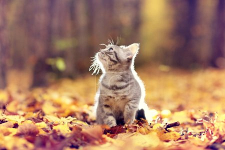 Photo for British kitten in autumn park, fallen leaves - Royalty Free Image