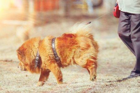 Dog chow-chow