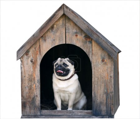 Funny pug dog in the dog house
