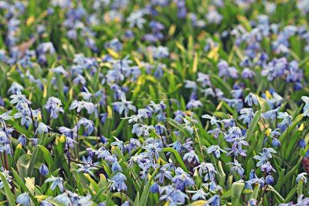 Meadow of blue flowers