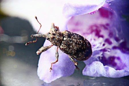 Photo pour Macro scarabée du jardin - image libre de droit