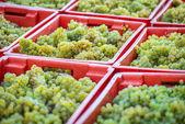Yellow grapes harvesting