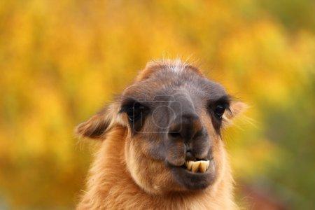 Llama showing its teeht