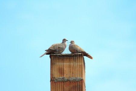 Photo pour Quelques tourterelles debout sur la cheminée - image libre de droit