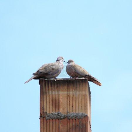 Photo pour Tourterelles couple debout ensemble dans le haut de la cheminée - image libre de droit