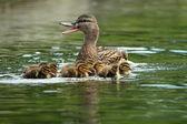 Matka kachna na vodě