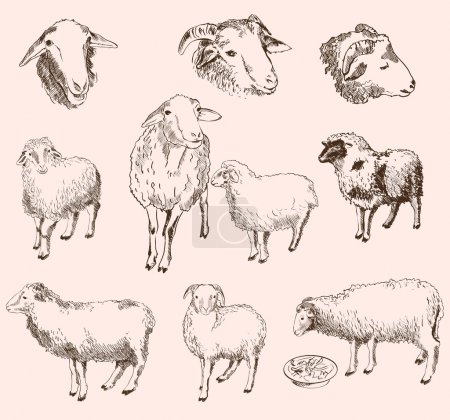 Illustration for Sheep breeding. set of vector sketches - Royalty Free Image