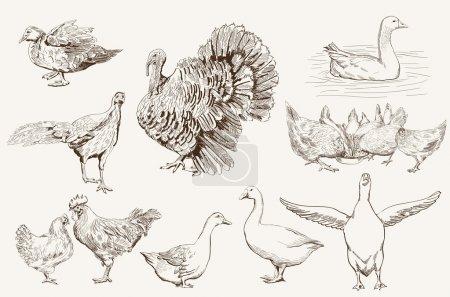 Illustration pour Aviculture. jeu de croquis vectoriels sur fond blanc - image libre de droit