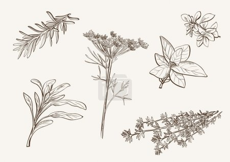 Illustration for Set of vector sketches of herbs used as spices - Royalty Free Image
