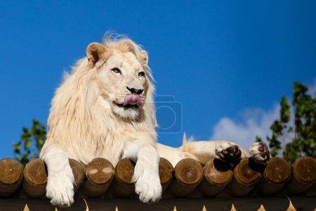 Photo pour Lion blanc sur plate-forme en bois Léchage nez Panthera Leo - image libre de droit
