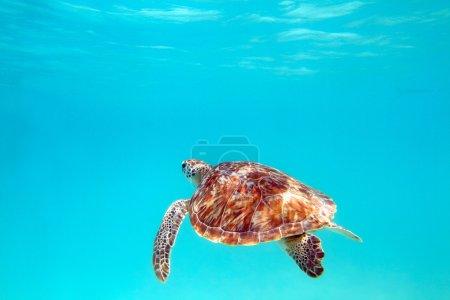 Photo pour Gros plan d'une tortue sous l'eau, mise au point peu profonde. Riviera Maya, Mexique - image libre de droit