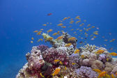 Colorful coral reef with exotic fishes anthias