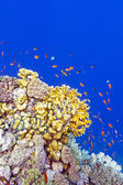 Coral reef with fire corals and exotic fishes anthias at the bottom of tropical sea on blue water background